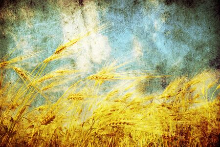 cornfield: Grunge background with golden wheat in a farm field
