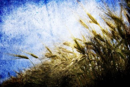 Grunge background with golden wheat in a farm field photo