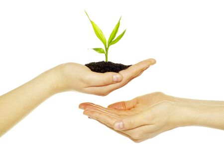 replant: Hands holding sapling in soil  on white            Stock Photo