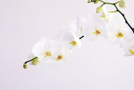 Blooming white orchids flower isolated on white background photo