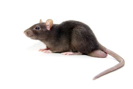 grey rat  isolated on white background photo