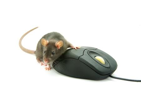 ratty: Ratto e un mouse del computer su sfondo bianco