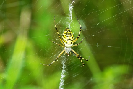 argiope: Macro of argiope spider on its web                        Stock Photo