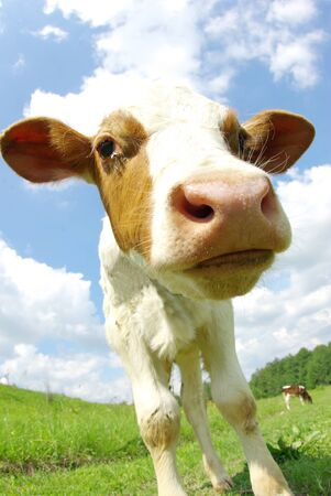 cow in the field looking at you Stock Photo - 9436028