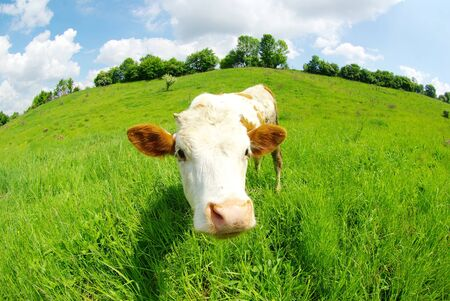 cow in the field looking at you Stock Photo - 9436049