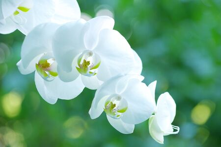 White orchid isolated on green background photo