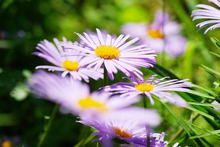 calceolaria: Immagine del bellissimo fiore viola