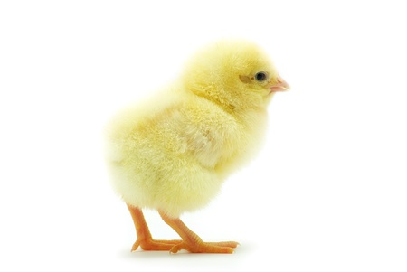 Cute little baby chicken isoliert auf wei?em Hintergrund