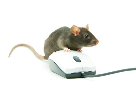 Rat and a computer mouse on white background photo