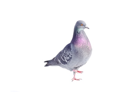 One gray pigeon isolated on white background photo