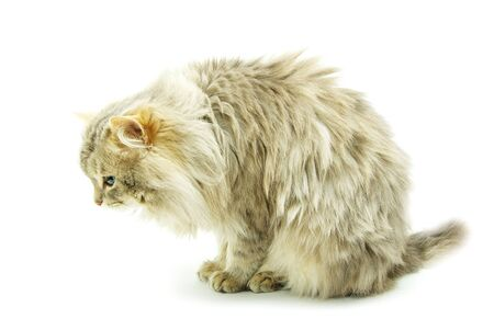 domestic cat isolated on a white background photo