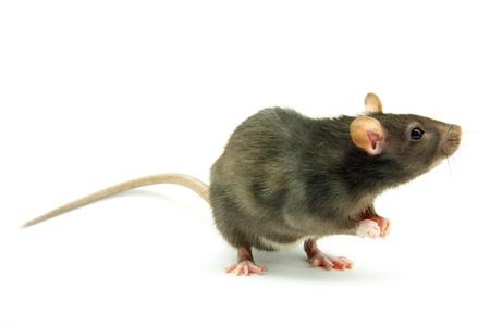 rata: rata aislado en fondo blanco