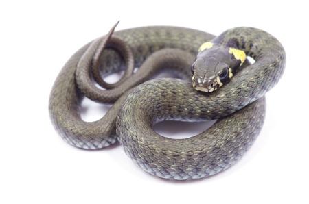 grass snake: serpente isolato su sfondo bianco Archivio Fotografico