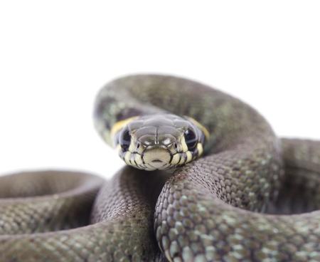 snake isolated on white background Stock Photo - 9661963