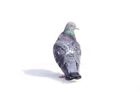 stay beautiful: One gray pigeon isolated on white background Stock Photo