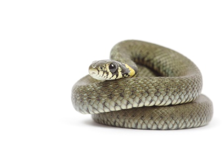 snake isolated on white background photo