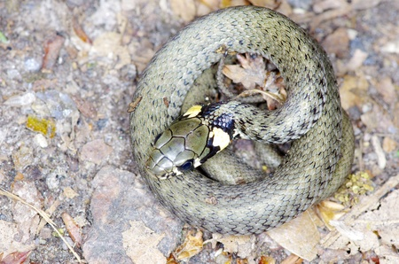 macro of a grass snake in the nature photo