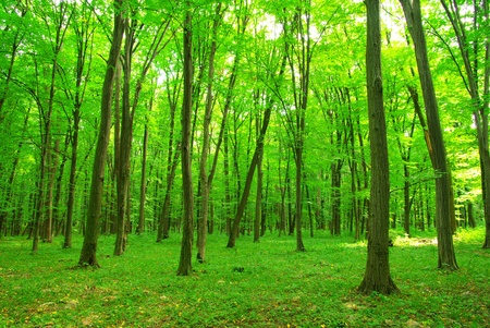 green forest: green forest background in a sunny day Stock Photo