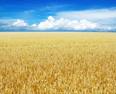Field of wheat over blue sky Stock Photo - 10142972