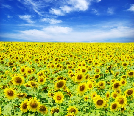 sunflower field over cloudy blue sky Stock Photo - 10143028