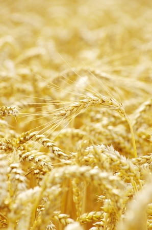 golden wheat field in summer Stock Photo - 10471426