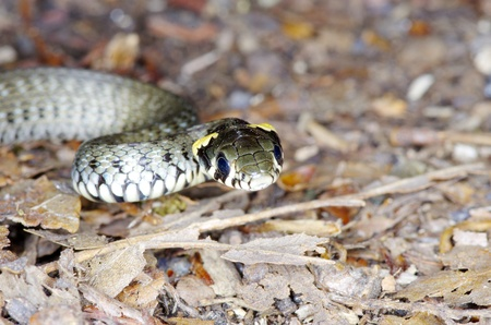 slither: macro of a grass snake in the nature Stock Photo