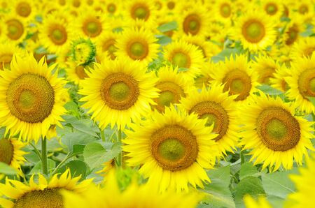 Closeup of a bright yellow sunflowers photo