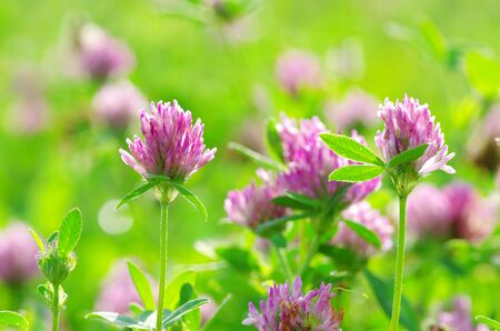 red clover: red flower clovers on green background