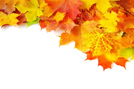fall leaves on white: autumn maple leaves isolated on a white