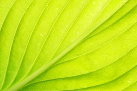 venation: structure of leaf natural background
