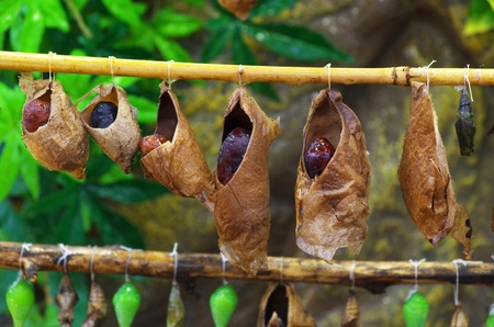 pollinator: birth of butterflies from cocoons Stock Photo