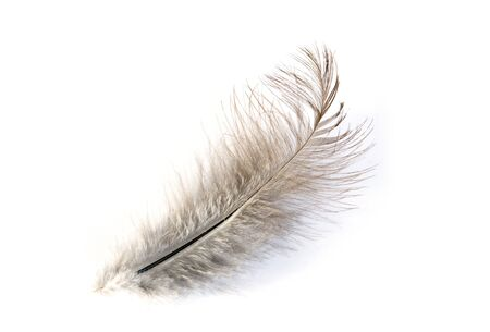 falling feather:  feather isolated on white background Stock Photo