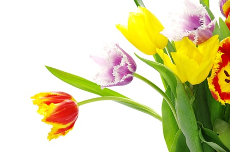 compliment: bouquet of the tulips on white background Stock Photo