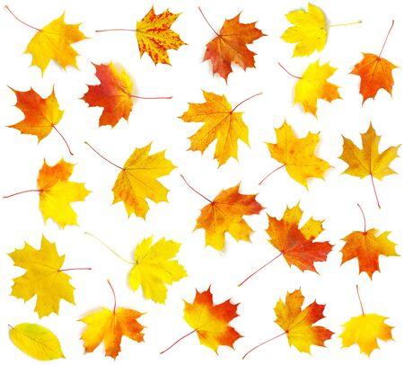 autumn maples leaf isolated on white background photo