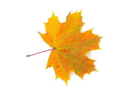 otoño, la hoja de arce aisladas sobre fondo blanco Foto de archivo