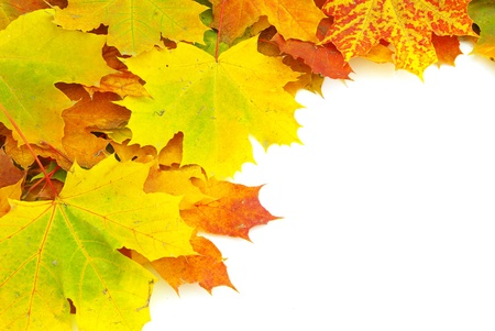 autumn maple leaves isolated on a white photo