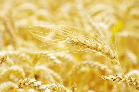 golden wheat field in summer photo