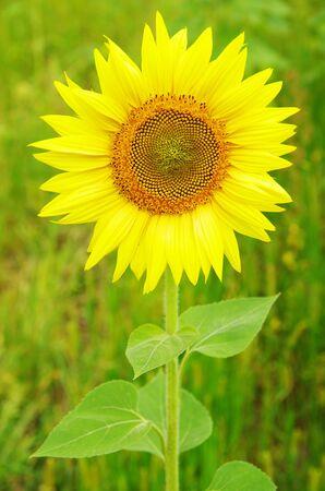 Closeup of a bright yellow sunflowers photo
