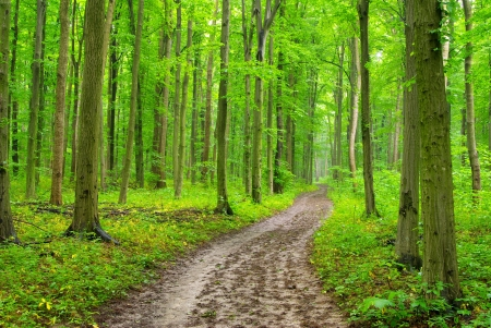 fog forest: a path is in the green forest