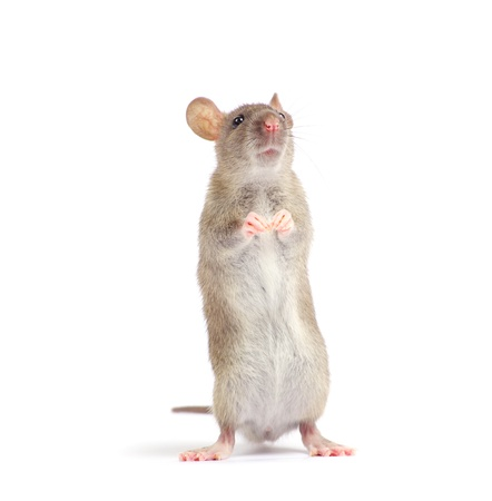 rodent: rat isolated on white background Stock Photo