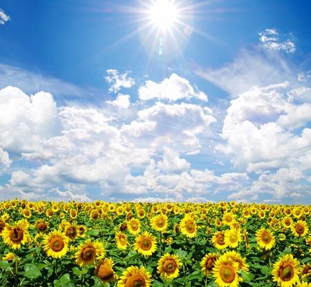 girasol: de girasol de campo sobre el cielo azul nublado Foto de archivo