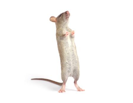 rat: rat isolated on white background Stock Photo