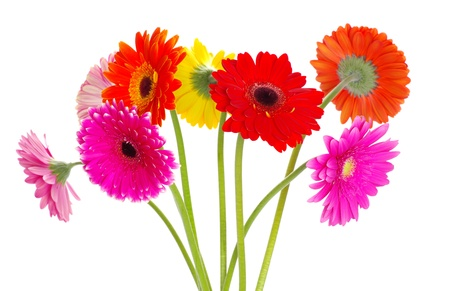 colorful gerberas on white background photo