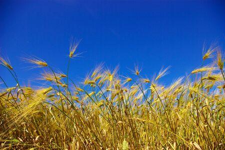 wheat ears against the blue  sky photo