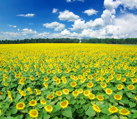 campo de flores: de girasol de campo sobre el cielo azul nublado Foto de archivo