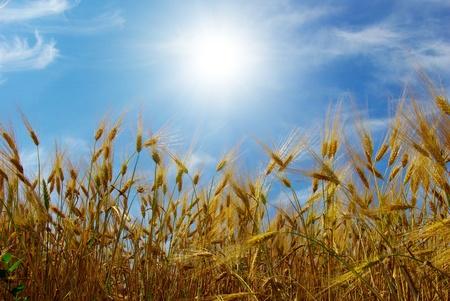champ de mais: ?pis de bl? contre le ciel bleu