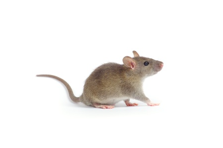 rat isolated on white background Stock Photo