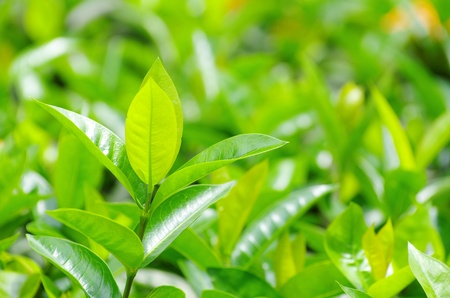 Green tea bud and fresh leaves photo