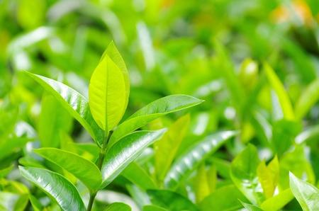 Green tea bud and fresh leaves Stock Photo