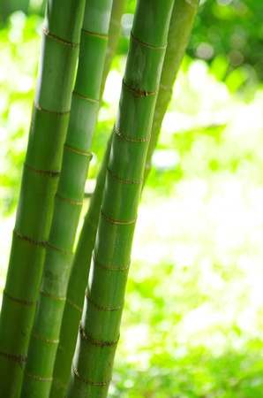Bamboo isolated on a green photo